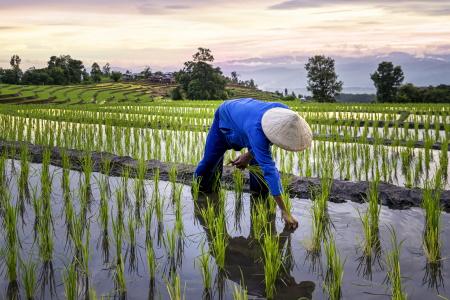 Ricefarm